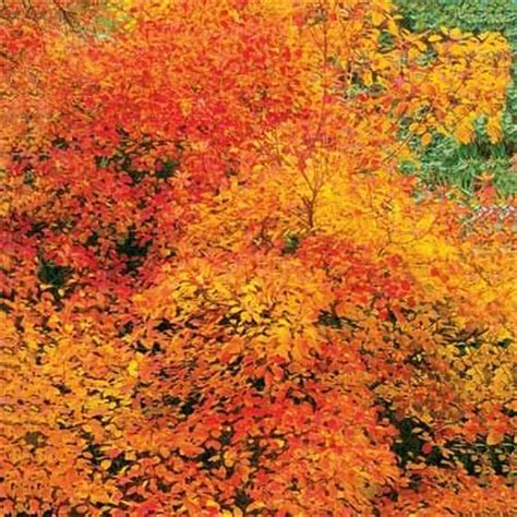 10 best trees and shrubs for fall color pinterest trees and shrubs the plant and spring