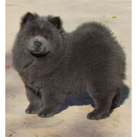 chow chow puppies for sale in ohio puppies for sale dogs for sale from breeders akc