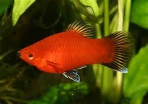 Red Coral Platy (Xiphophorus maculatus))