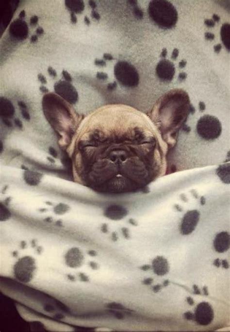 snug as a pug hat 3116 best images about pugs on pug brindle pug and black pug