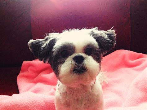 shih tzu ears airplane ears hi i m shih tzu