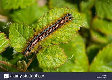 Caterpillar Blue brown blue orange and white striped caterpillar on