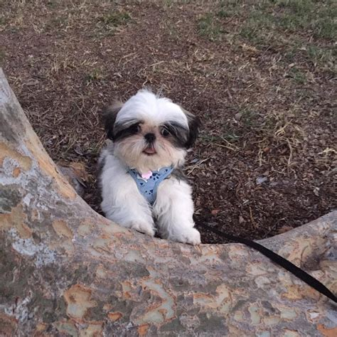 can a shih tzu walk 3 the do s and don ts of walking your page 4 shih tzu