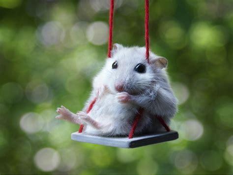 Hamster Swing hamster on a swing teh