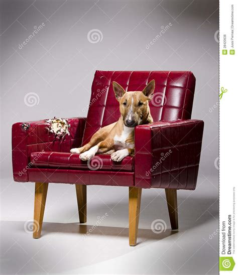 dog armchair dog tearing leather armchair royalty free stock photos