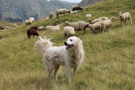 seit wann gehört polen zur eu der wolf kehrt zur 252 ck hunde zum herdenschutz sind schon
