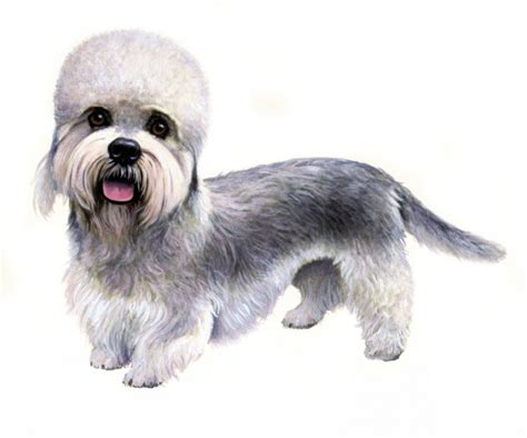 dandie dinmont terrier puppies top 8 breeds are losing their popularity