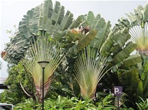 Pohon Pisang Kipas 1000 images about leaf plants on sun