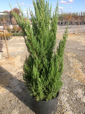 christmas trees need proper care
