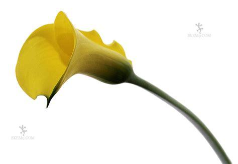 tgiff wedding flower guide calla lily ct wedding