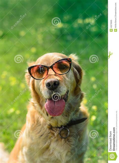 green puppy golden retriever golden retriever with sunglasses stock image image 40279695