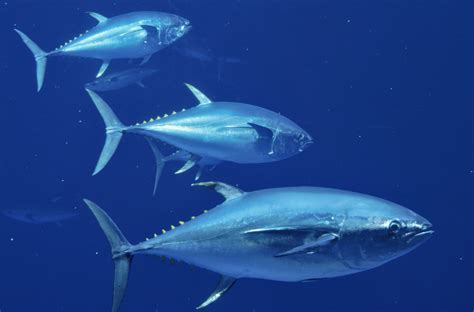 radioactive tuna migrate from fukushima japan quake zone across pacific to california