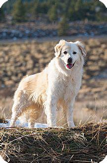 anatolian shepherd golden retriever mix washoe valley nv golden retriever anatolian shepherd mix meet a for