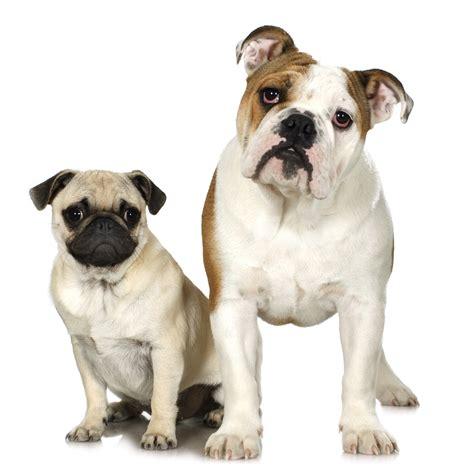 pug behavior problems behavior therapy 187 small animal hospital 187 college of veterinary medicine