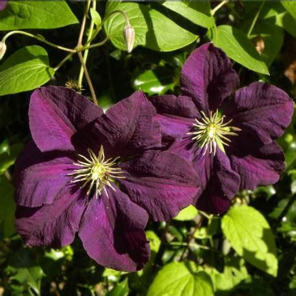 Clematis Viticella Etoile Violette 4887 by Cl 233 Matite Of India