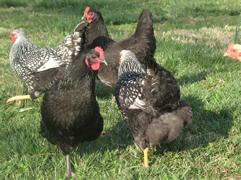 Backyard Chickens Problems A Chicken Problems And How To Fix Them Backyard