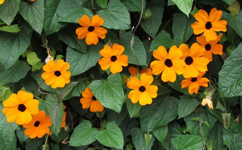 thunbergia alata orange 2l evergreens turn it tropical
