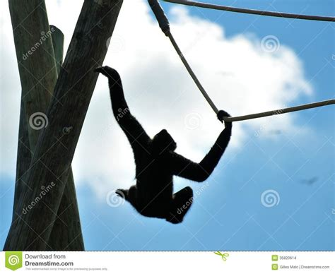 swinging on rope gibbon monkey swinging on rope stock images image 35820614