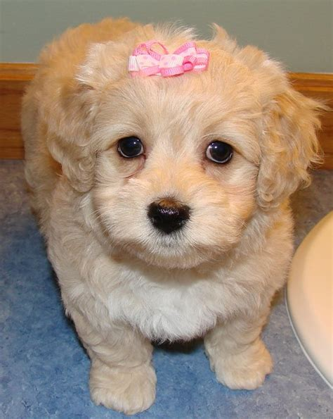 miniature schnoodle puppies schnoodle schnauzer poodle mix info puppies temperament pictures