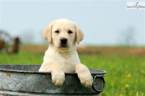 golden lab puppies for sale near me puppies available for adoption near me pets world