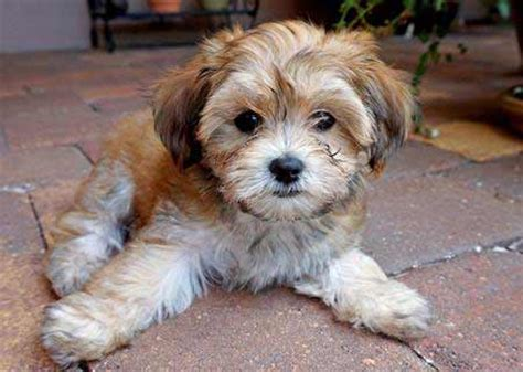 havanese diseases havanese breed 187 information pictures more
