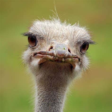 Ostrich Memes - the gallery for gt funny ostrich jokes