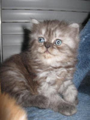 gatti persiani piemonte cuccioli gatti persiani piemonte annunci trovalo