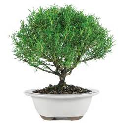 Indoor Plants That Don T Need Sun rosemary bonsai care