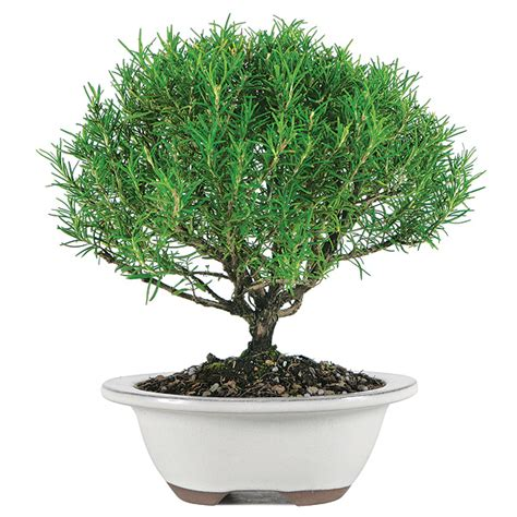bonsai care manual rosemary bonsai care
