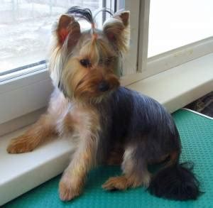 yorkshire terrier teddy bear cut yorkie haircuts for males and females 60 pictures