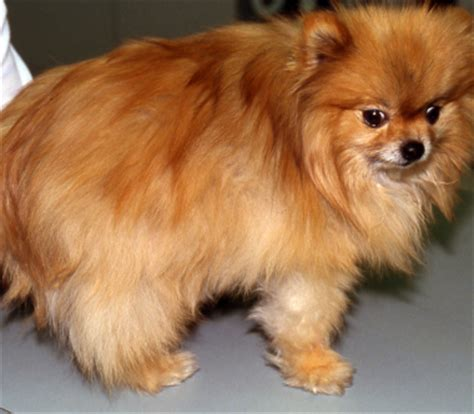 alopecia x treatment pomeranians pomeranian skin problems breeds picture