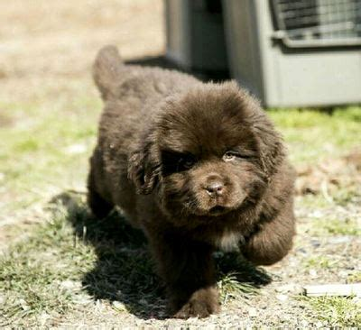 Tenderheart Newfoundlands Tenderheart Newfoundlands Newfoundland Puppies