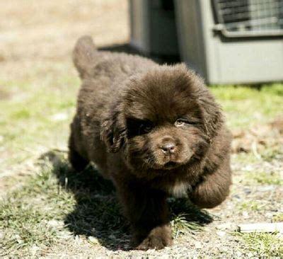 newfoundland puppies colorado tenderheart newfoundlands tenderheart newfoundlands newfoundland puppies
