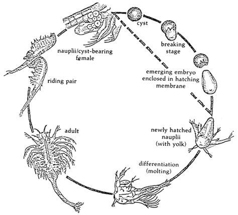 Artemia Untuk Pakan Ikan komunitas penyuluh perikanan artemia pakan bergizi untuk