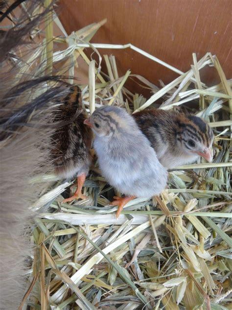 backyard guinea fowl raising guinea fowl 101 page 71 backyard chickens