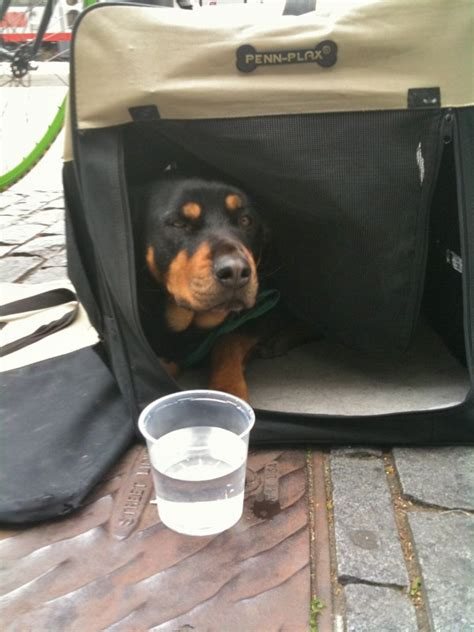 rottweiler eyebrows of the day patient rottweiler the dogs of san franciscothe dogs of san