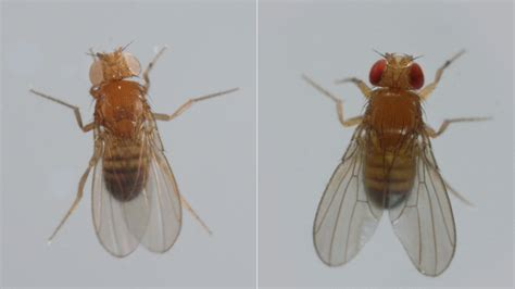 fruit fly like bugs in bathroom these fighting fruit flies are superheroes of brain