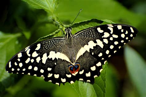 black butterfly news butterfly black butterfly