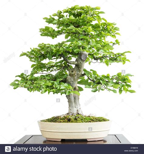 old bonsai tree old common hornbeam carpinus betulus as bonsai tree