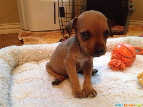 runt puppy runt of the litter pictures cuteimages net
