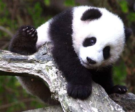 imagenes de animales en extincion animales en peligro de extinci 243 n recurso educativo 46229