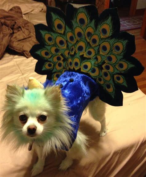 pomeranian in costume peacock costume pomeranian poms