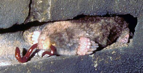 moles life traces   georgia coast