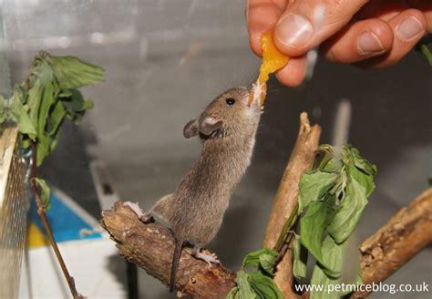 mice  pets pros  cons pet mice blogcouk