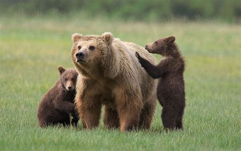 bear s drive to nature grizzly bear
