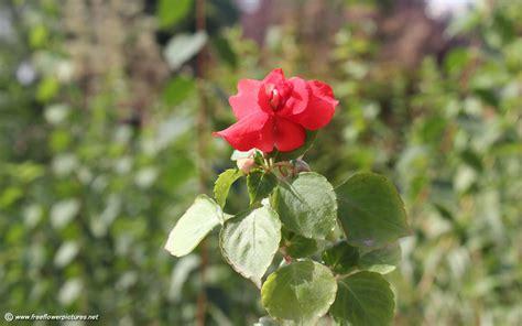 impatiens flowers impatiens flower pictures impatiens pictures
