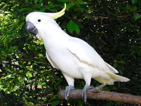 Rantai Burung Kakatua By Nd Pets cockatoo helena jamison lessons tes teach