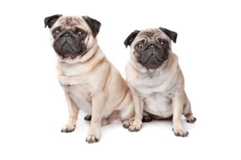 pug insurance cost the 9 top breeds in san francisco california