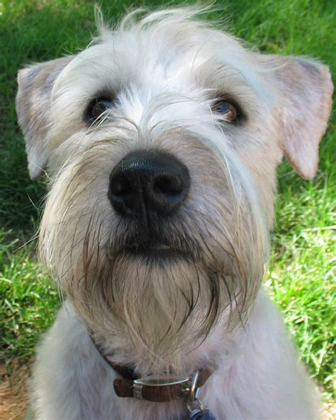 wheaten terrier haircut styles pictures of wheaten terrier haircuts best 25 wheaten