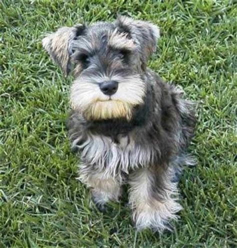 miniature schnauzer yorkie mix snorkie schnauzer yorkie mix info temperament puppies pictures